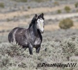 Wild Horses of Piceance Basin/ East Douglas HMA (before the 2011 gather)