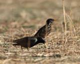 2. European Starling
