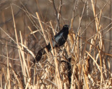 4. Great-tailed Grackle