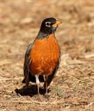 7. American Robin