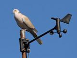 10. Eurasian Collard-Dove