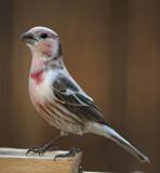 14. House Finch