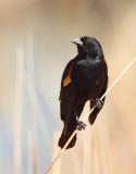 22. Red-winged Blackbird