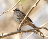 26. White-crowned Sparrow