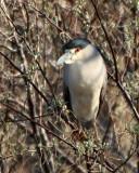 31. Black-crowned Night-heron