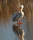 32. American White Pelican