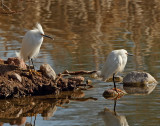 33. Snowy Egret