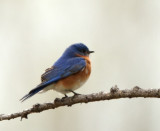 36. Eastern Bluebird