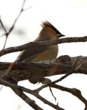 37. Cedar Waxwing