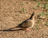 40. Mourning Dove