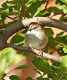 41. Chipping Sparrow
