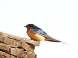 42. Barn Swallow