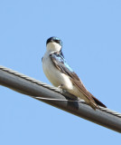 45. Tree Swallow