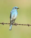 46. Mountain Bluebird