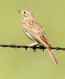 47. Vesper Sparrow