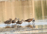 49. Long-billed Dowitcher