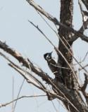50. Ladder-backed Woodpecker