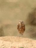 52. Burrowing Owl