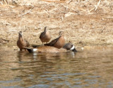 48. Blue-winged Teal