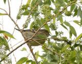 57. Blackpoll Warbler (female)