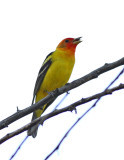 63. Western Tanager
