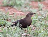 65. Brewer's Blackbird
