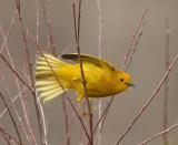 66. Yellow Warbler