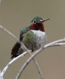 67. Broad-tailed Hummingbird