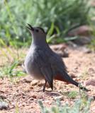68. Gray Catbird