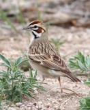 71. Lark Sparrow