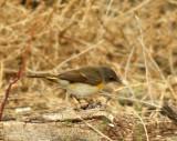 73. American Redstart (female)