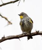 74. Yellow-rumped Warbler