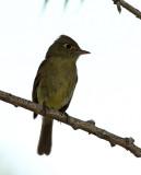 79. Cordilleran Flycatcher