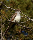 81. Ash-throated Flycatcher