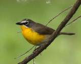 83. Yellow-breasted Chat