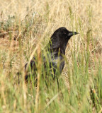 87. American Crow