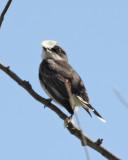 93. Eastern Kingbird