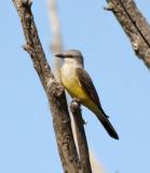 95. Western Kingbird