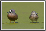 Blue Winged Teals