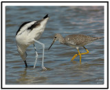 Lesser Yellowlegs and American Avocet