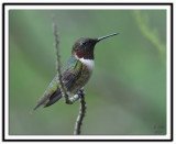 Ruby Throated Hummingbird (Male)
