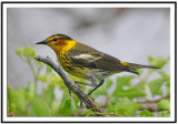 cape_may_warbler