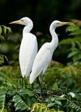Egrets, Herons and Storks