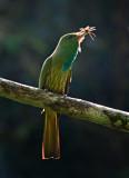 Blue-bearded Bee-eater