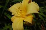 Yellow Day Lilly