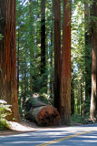 IMG_5334 The Redwoods