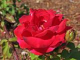 IMG_3346 Rose at Reagan Library *