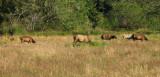 IMG_3470 Elk