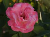 IMG_5160 A rose at Yosemite