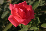 IMG_5163 Red rose from Yosemite
